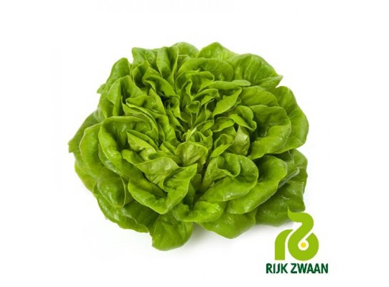 Семена салата кочанного Аквино (5000 семян), Rijk Zwaan, драже