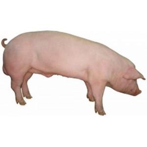 Корм для свиней, поросят